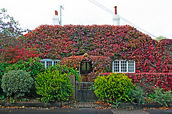 ©Licensed to London News Pictures 23/10/2020  <br /> Halstead, UK. This cottage in Halstead near Sevenoaks in Kent is covered in red autumnal leaves. Wet and windy weather this afternoon across large parts of the UK. Photo credit:Grant Falvey/LNP