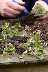 Repotting and dividing a hepatica.<br /> Divided sections laid out ready to pot up