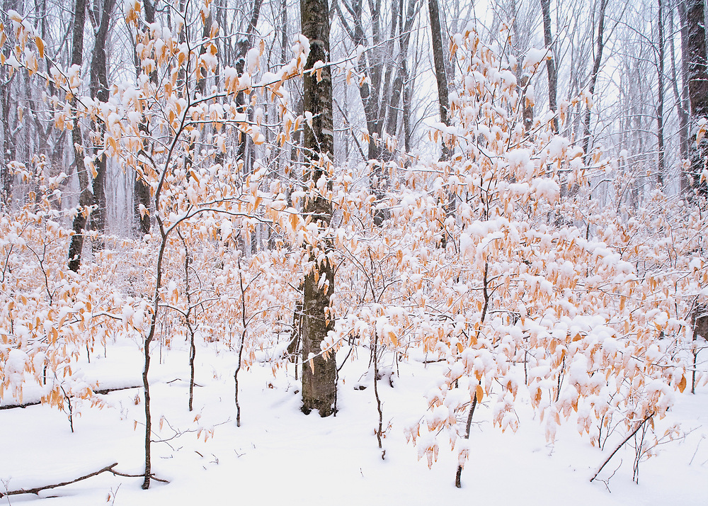 Snow and beech trees, Roan Highlands