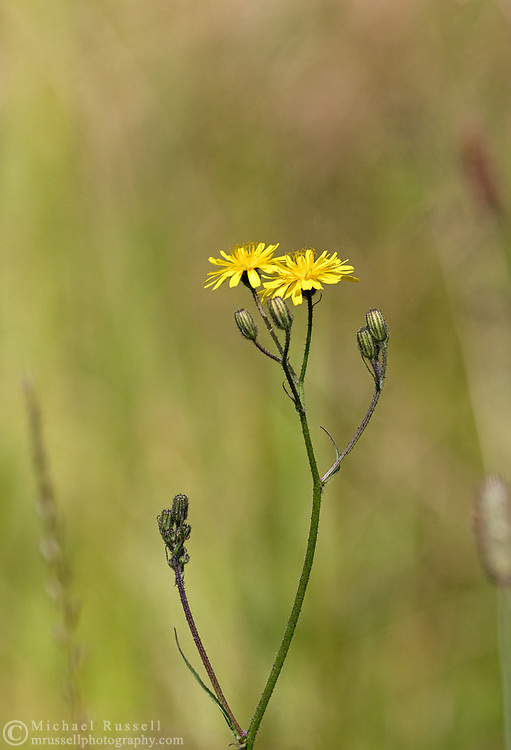 Smooth Hawksbeard (Crepis capillaris) flowers in a field at Campbell Valley Regional Park in Langley, British Columbia, Canada.
