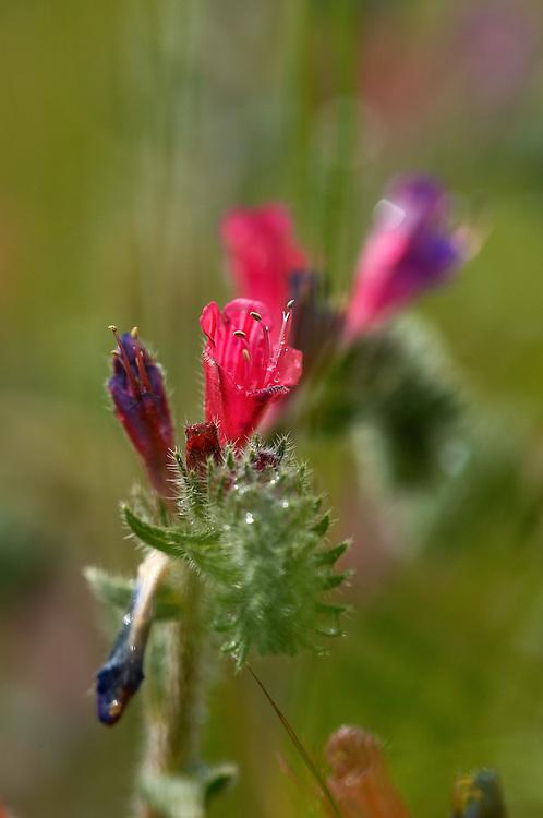 Narrow-leaved bugloss (Echium angustifolium), Limassol, Cyprus
