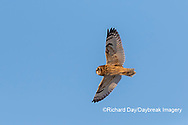 01113-02220 Short-eared Owl (Asio flammeus) in flight Prairie Ridge SNA Marion Co. IL