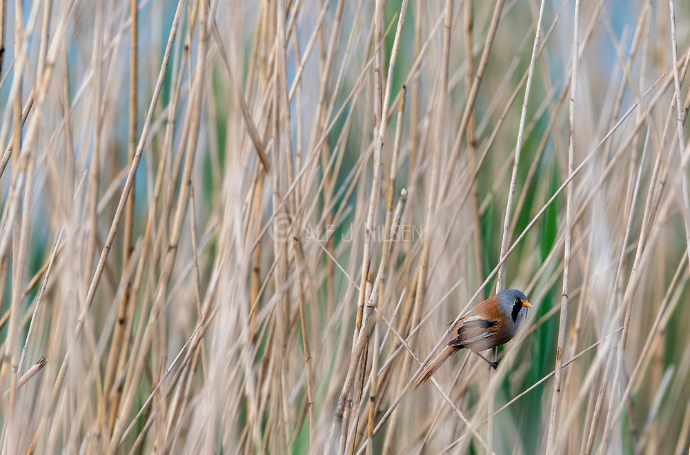Bearded reedling (Panurus biarmicus, male) hiding in the forest of stout grass in Vejlerne, northern Denmark in June.