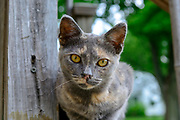Domestic Shorthair tortoiseshell cat. Columbus, Ohio, USA. July 2014
