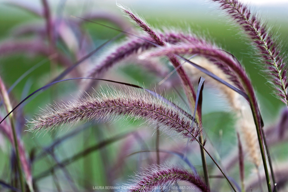 The feathery, purple plumes of Rubrum Purple fountain grass (Pennisetum aloepecurides 'Rubrum Purple')
