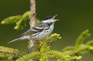 Blackpoll Warbler - Setophaga striata - Adult male breeding