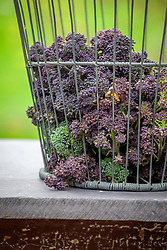 Wire basket of harvested purple sprouting broccoli. Brassica oleracea