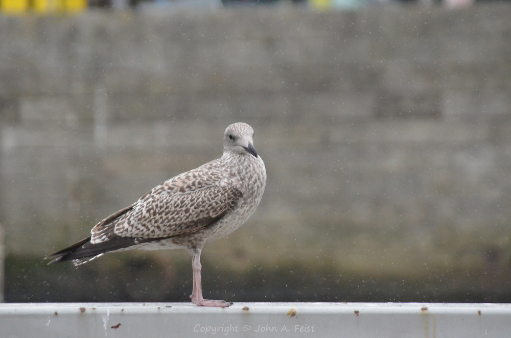 A seagull along the river Liffey in Dublin, Ireland.  He didn't seem to mind the sudden downpour, but was giving me a nasty look!