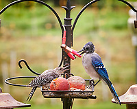 Red-bellied Woodpecker, Blue Jay. Image taken with a Nikon D850 camera and 200 mm f/2 VR