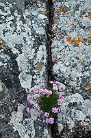 Armeria en costa de isla South Harris. Armeria on shore South Harris Island. Outer Hebrides. Scotland, UK
