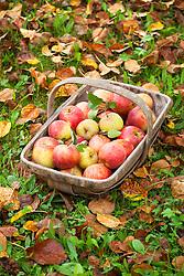 Trug of harvested apples amongst autumn leaves. Malus domestica