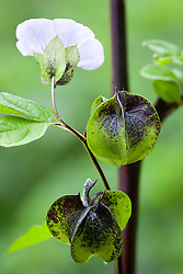 Nicandra physalodes, seed pod and flower - Shoo Fly Plant, Apple of Peru