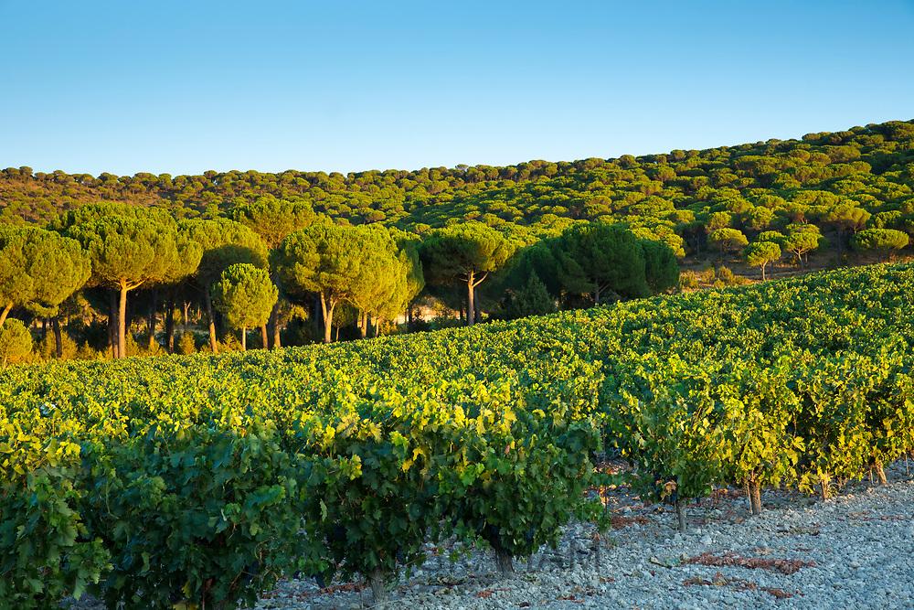 Pine trees and vineyard in ribera del Duero wine production area, Valladolid,  Spain