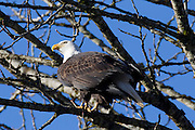 An adult bald eagle (Haliaeetus leucocephalus) is perched in a tree over the Cheakamus River in Brackendale, British Columbia, Canada.