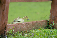 Middletown, New York - A Canada goose gosling tries to clilmb over a fance at Fancher-Davidge Park  on May 22, 2014.
