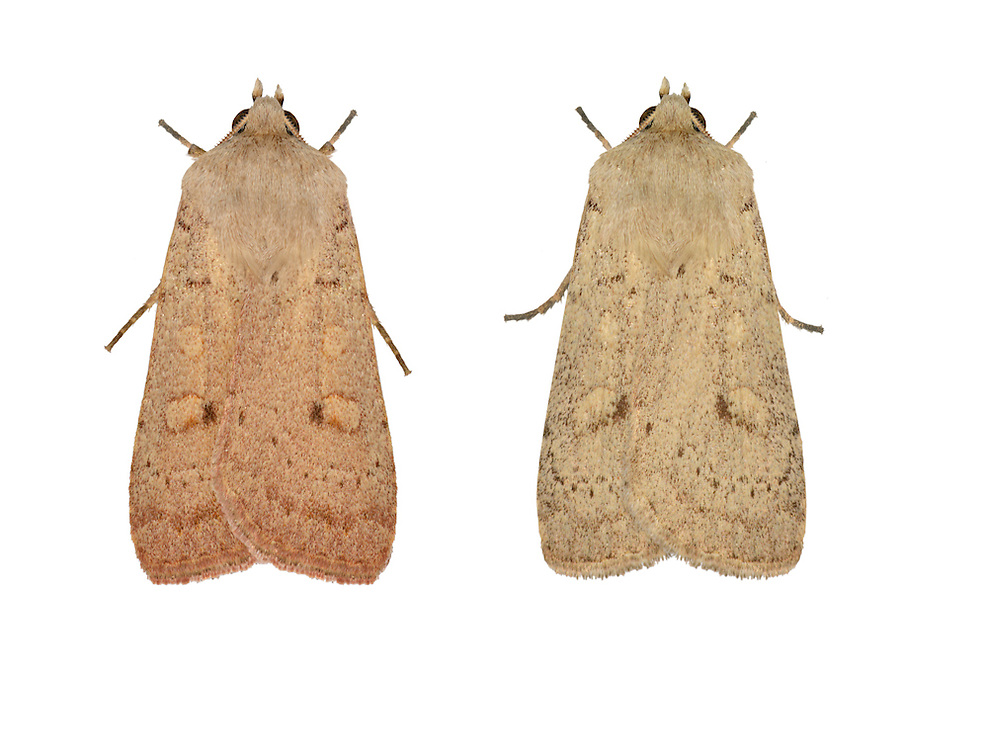73.355 (2132)<br /> Neglected Rustic - Xestia castanea