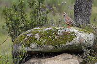 Red-legged Partridge (Alectoris rufa).Sierra de Andújar Natural Park, Mediterranean woodland of Sierra Morena, north east Jaén Province, Andalusia. SPAIN..Mission: Iberian Lynx, May 2009.