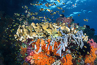 Damsels, Hard and Soft Corals in the shallows.<br /> <br /> Shot in Indonesia