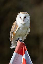 19MAR21 Echo, a barn owl owned by a golfer at Oatridge golf course, Broxburn,