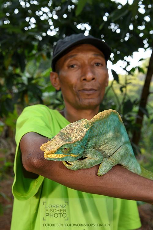 Parsons Chamäleon (Calumma parsonii), Ranomafana, Madagaskar<br /> <br /> The guide Charles with a Parson's chameleon (Calumma parsonii), Ranomafana, Madagascar