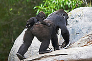 Female Gorilla carrying baby on back