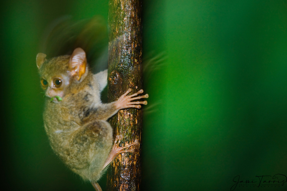 A motion-blur of a wide-eyed Dian's tarsier (Tarsius dianae) jumping to a tree while eating an insect, Indonesia