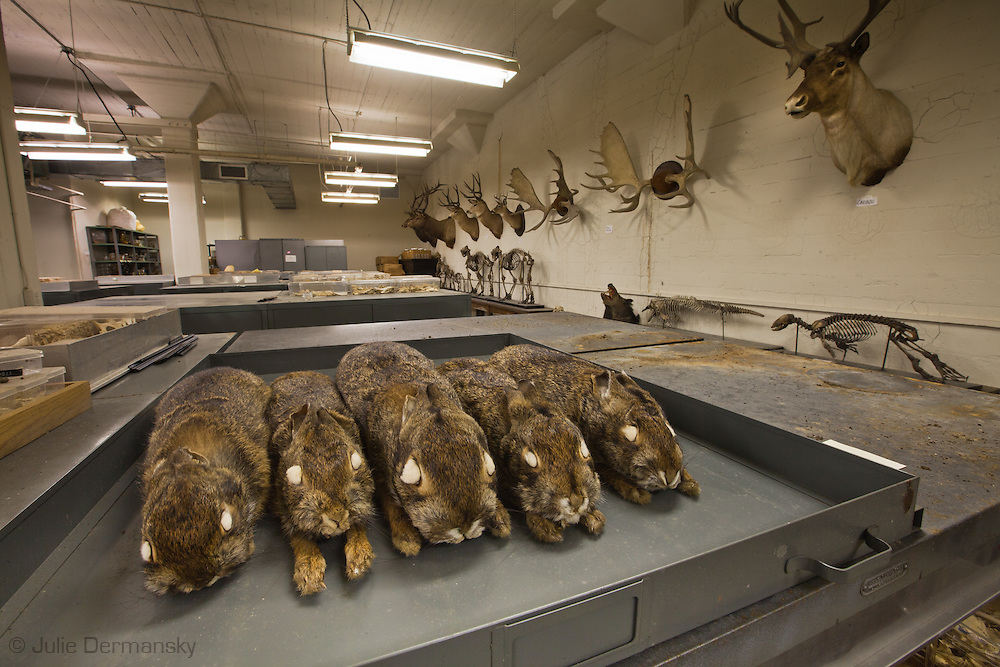 Rabit skins at Tulane's natural History Museum