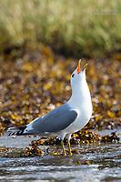 Herring Gull, BC