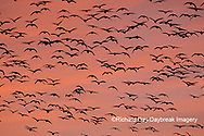 00754-02320 Snow Geese (Chen caerulescens) in flight at sunrise Marion Co. IL