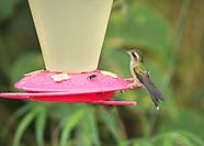 Speckled Hummingbird, Adelomyia melanogenys