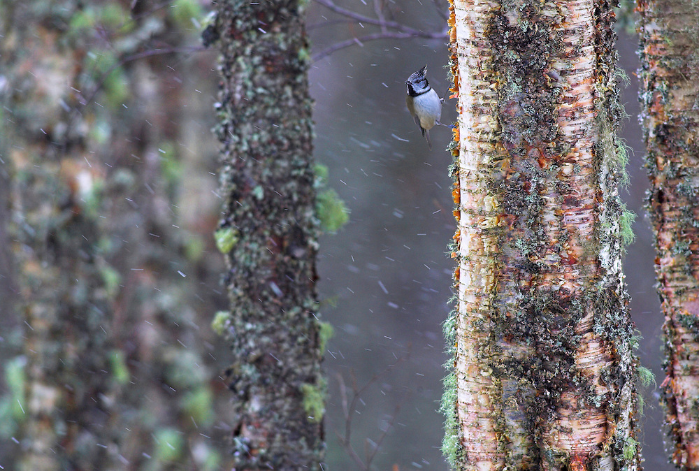 Crested tit clinging to lichen covered tree in snowfall