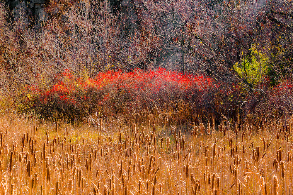 Defiant against the mid-November chill, sheltered at the base of the Niagara Escarpment, colours persist in a dazzling display of crimson and green beyond the harvest gold of the bullrushes.