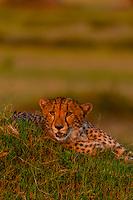 A cheetah on a mound, near Kwara Camp, Okavango Delta, Botswana.