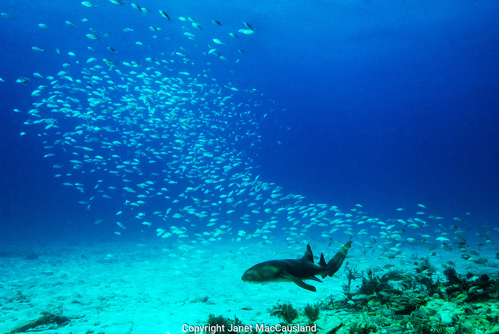 A school of fish part to make way for a nurse shark passing through. Nurse Sharks grow to twelve feet.