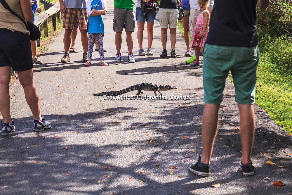 A juvenile American Alligator (Alligator mississippiensis) crosses the Ahinga Trail in Everglades National Park in front of a small crowd of park visitors. WATERMARKS WILL NOT APPEAR ON PRINTS OR LICENSED IMAGES.