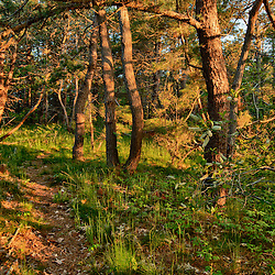 Pitch pine forest on the Biddle Property in Wellfleet, Massachusetts. Cape Cod National Seashore. HDR.