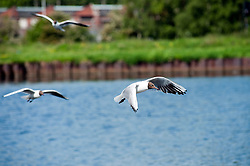 Gulls fly in over the lake close to Parkgate Shopping Centre in the centre of Rotherham.<br /> 29 May 2012.<br /> Image © Paul David Drabble