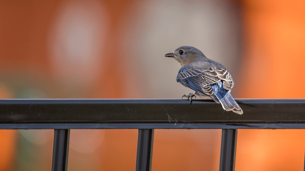 This bluebird is perched on the fence and looking for a meal