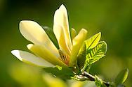 Magnolia 'Woodsman', a yellow magnolia in Kew Gardens, London, UK