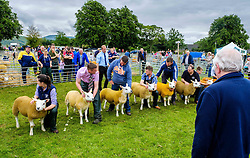 Biggar, South Lanarkshire, Scotland 23 July 2016<br /> <br /> Showing Texel sheep in the show ring.<br /> <br /> (c) Andrew Wilson | Edinburgh Elite media