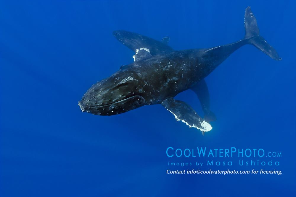 humpback whales, Megaptera novaeangliae, courting pair, Hawaii, USA, Pacific Ocean