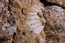 24/04/2009 Brindisi Diga di Punta Riso, un fossiledi conchiglia nello scoglio
