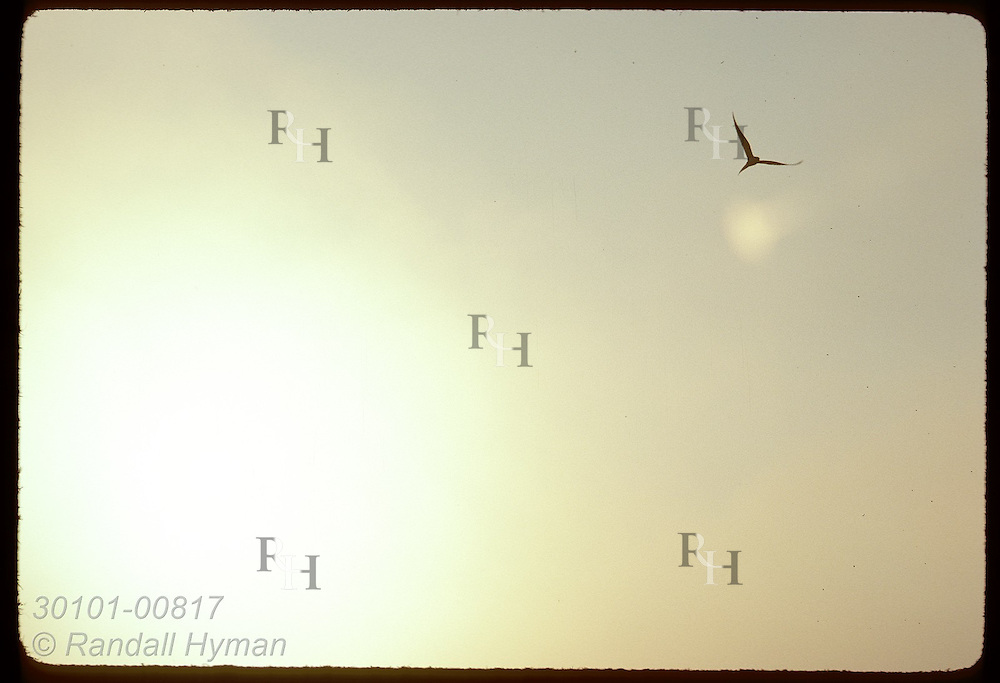 Small, silhouetted form of an arctic tern soars up from disk of sun on hazy day in May. Iceland