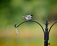 Black-capped Chickadee. Image taken with a Nikon D850 camera and 200 mm f/2 VR lens