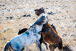 Fighting Idaho Mustangs in the mountains of Idaho.  The Bay is a cantankerous mare picking a fight with the stallion, or possibly just a little rough foreplay.