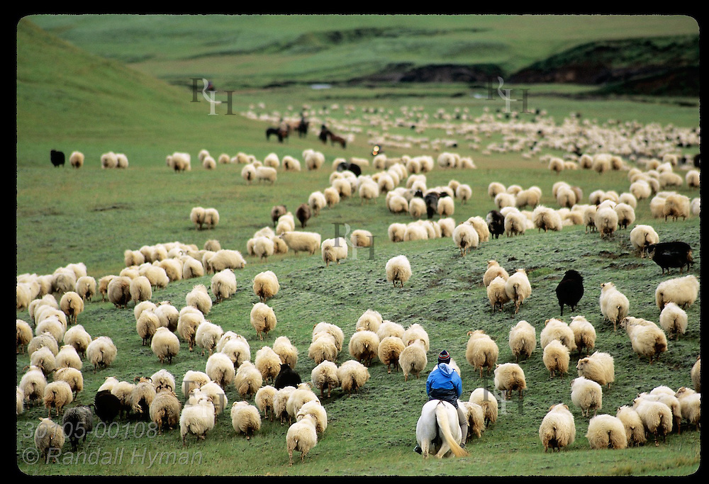 Horsemen drive legions of sheep down thru lush mountain pastures during fall roundup; Klaustur. Iceland