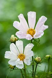 Cosmos bipinnatus 'Hummingbird White'