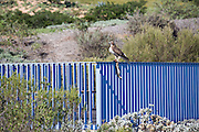 Brown Bird Sitting on the Blue Bridge with Dead Rabbit at Newport Beach Civic Center Park
