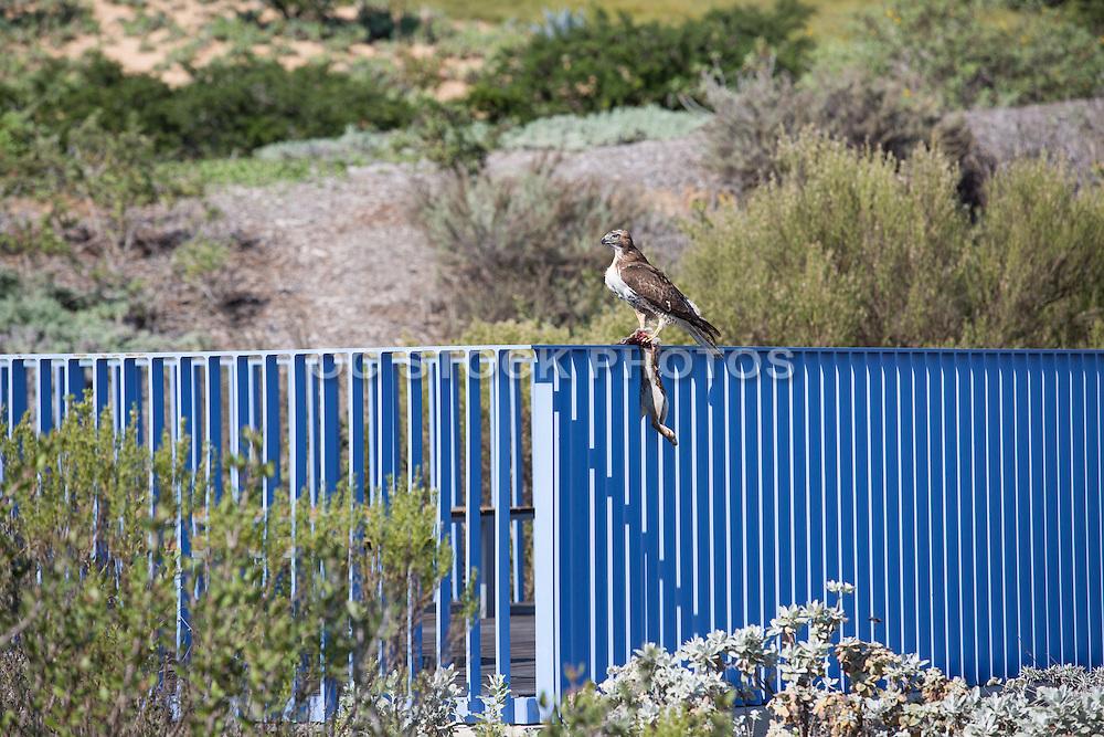 Brown Bird Sitting on the Blue Bridge with Dead Rabbit at Newport Beach Civic Center Park