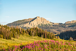 Fireweed blooming high in the Absaroka Mountains of Northwest Wyoming along the Togwotte Trail.